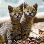 любопытные котята сервала