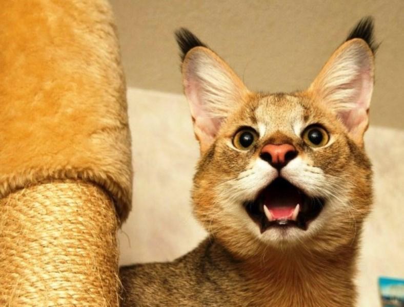 кошка хауси (чаузи)