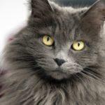морда кошки нибелунг