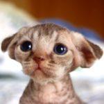 котенок девон