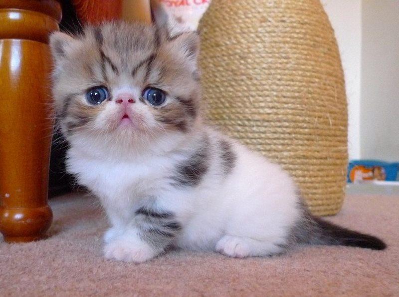 пушистый котенок экзот