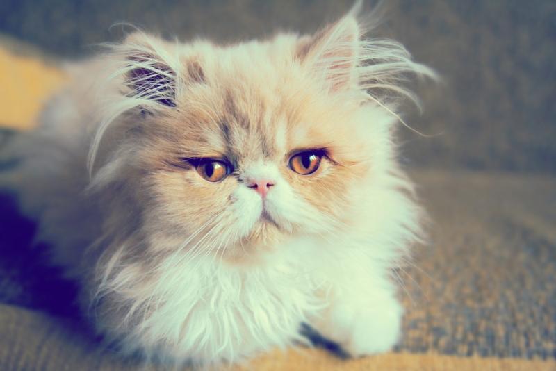 Персидская кошка - пушистое ленивое создание