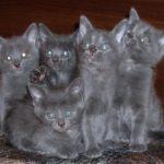 семейство котят нибелунгов