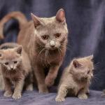 котенок шартрез