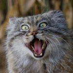 дикий кот манул