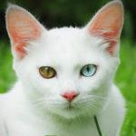 кошка као мани