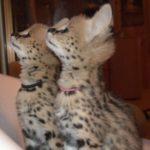 внимательные котята сервала