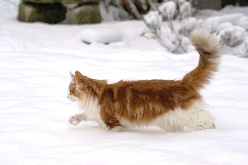 Норвежская лесная кошка - нордическая скандинавская порода