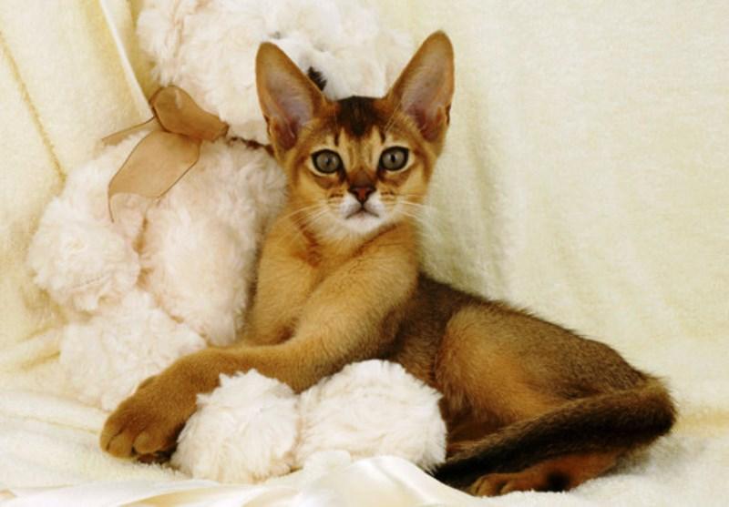Дикий (ruddy) окрас абиссинской кошки