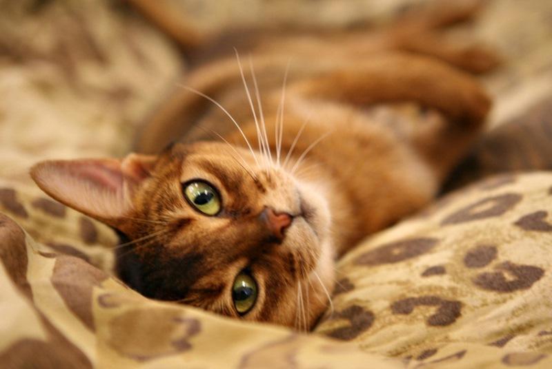 Абиссинская кошка - домашняя пума