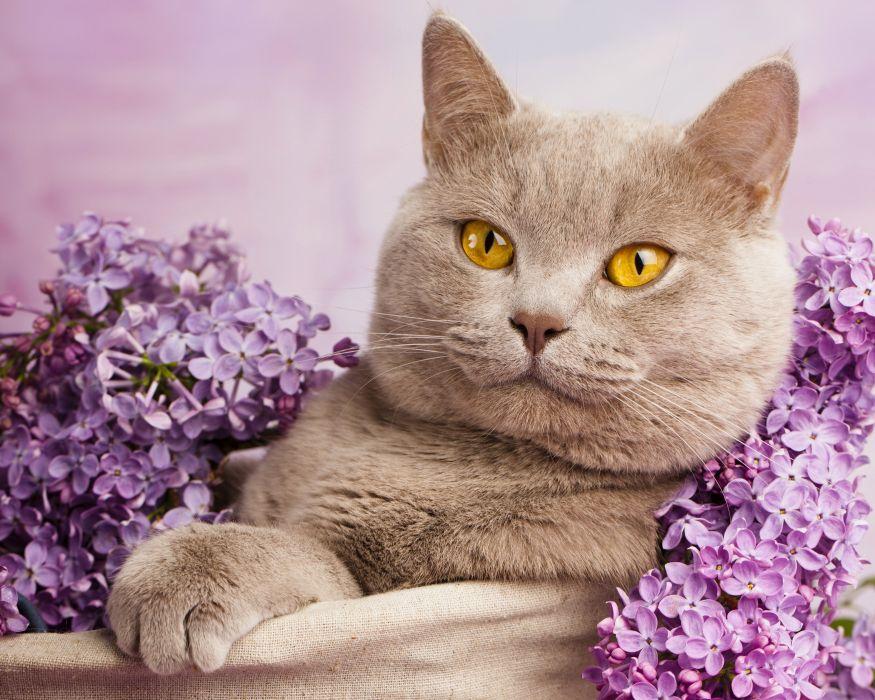 Лиловый британский кот