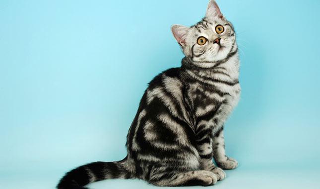 Окрас табби - у каких пород кошек присутствует данный окрас