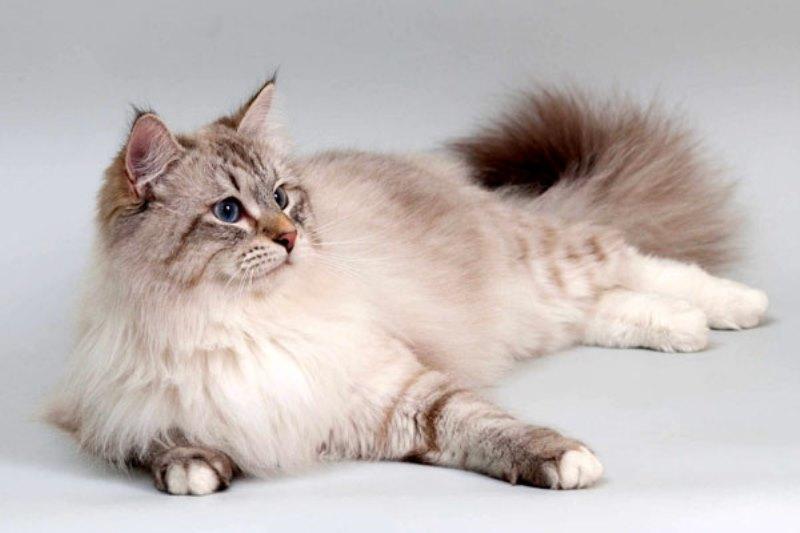Невская маскарадная (карнавальная) кошка
