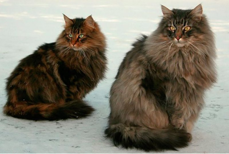 Норвежская лесная кошка_вязка