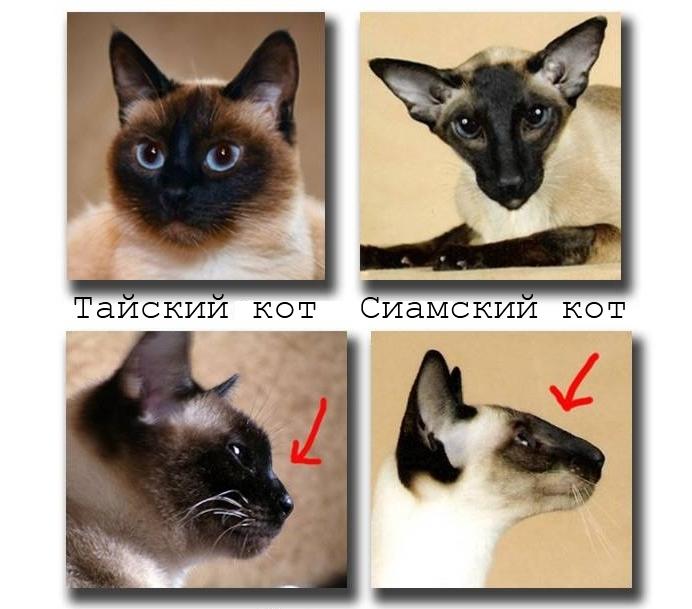 Отличия сиамских и тайских кошек