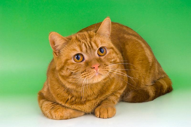 Рыжие коты породы описание и особенности