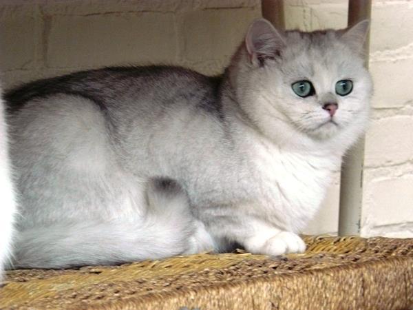 Серебристая шиншилла кошка - верх красоты и аристократизма