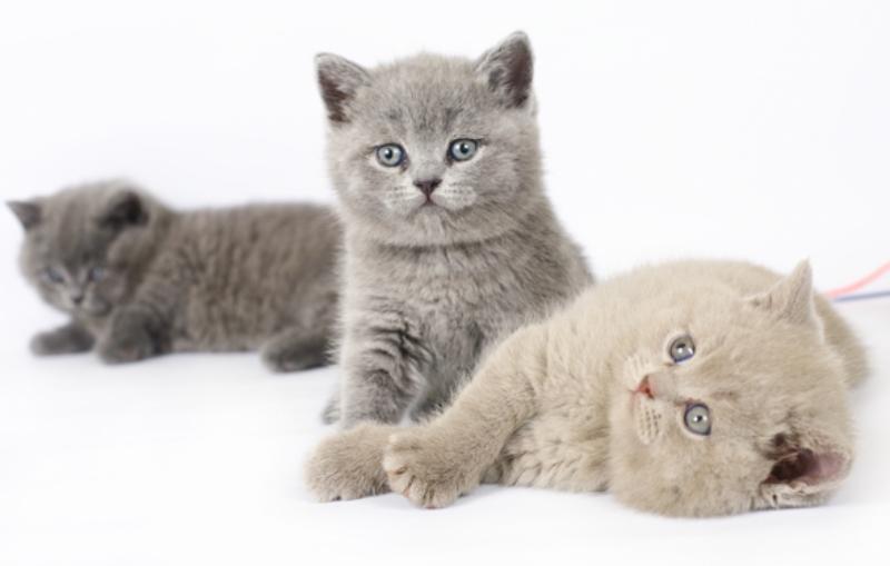 Сколько стоит британский котенок
