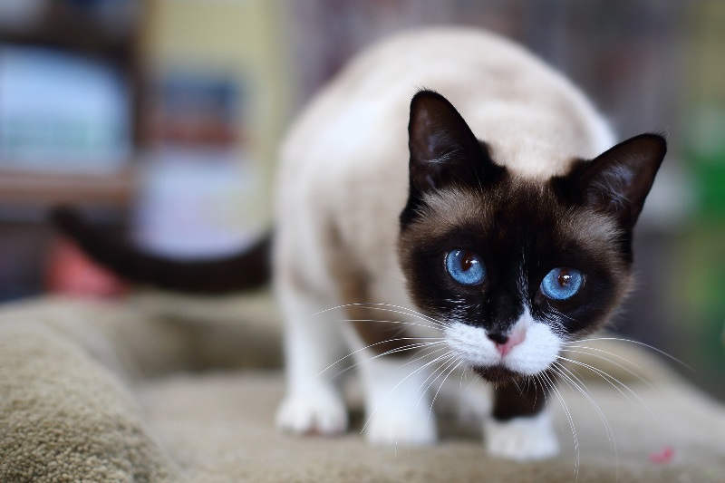 Сноу шу кошка