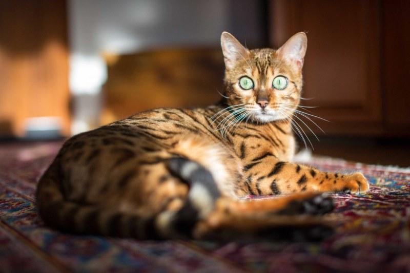 Бенгальская кошка - порода, похожая на леопарда