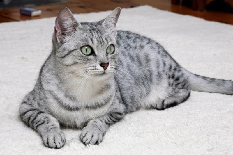Египетская мау порода кошек