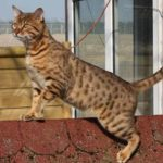 Калифорнийская сияющая кошка