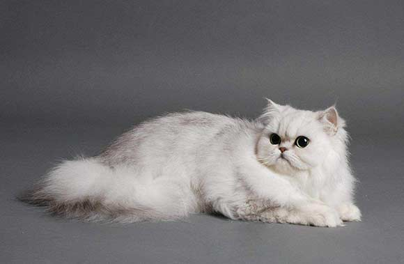 Кошки породы шиншиллы