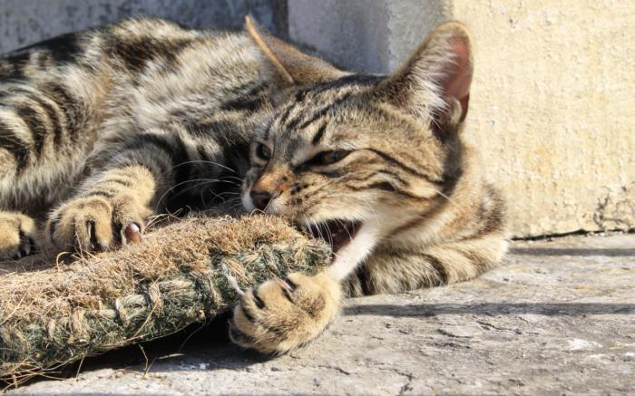 кошка серенгети