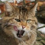 дикий лесной кот
