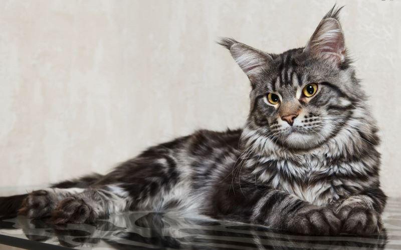 Мейн-кун - роскошный кошачий гигант