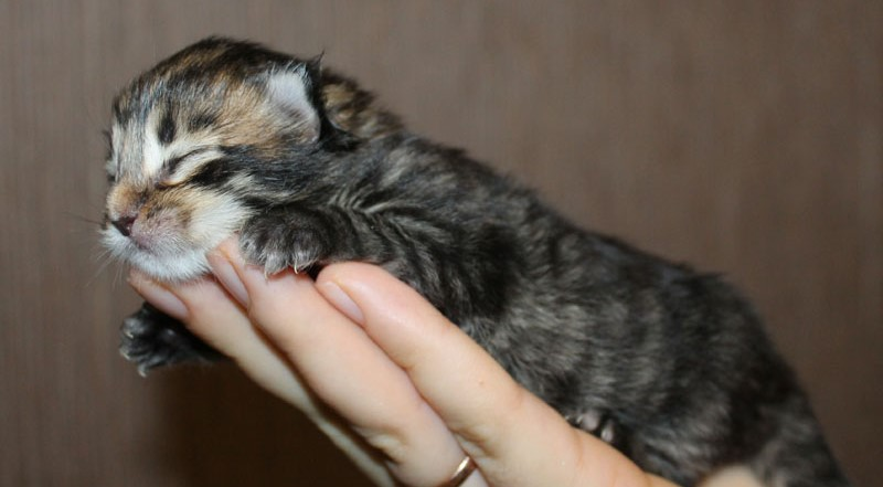 новорожденный котенок мейн куна