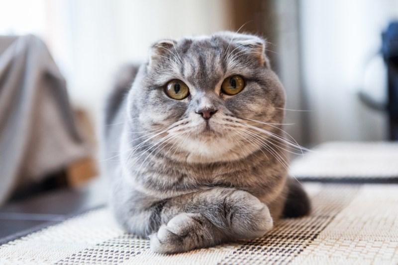 болезни шотландских кошек