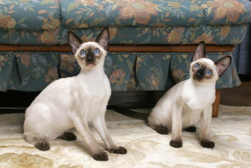 Сиамская порода кошек - голубоглазая восточная дива