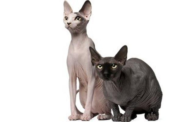 Сфинксы - многообразие лысых кошек