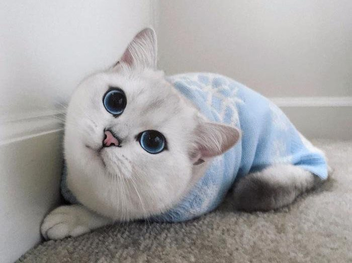Коби кот