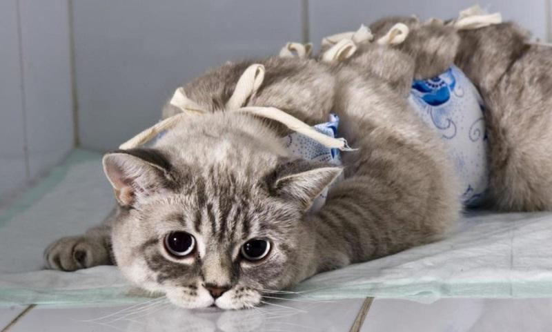 Когда кастрировать и стерилизовать шотландских кошек