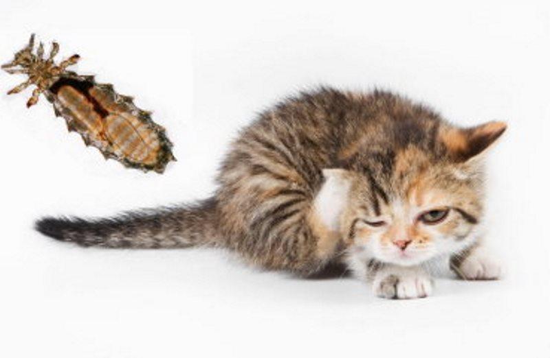 Власоеды у котенка