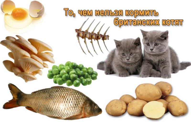 кормить британских кошек