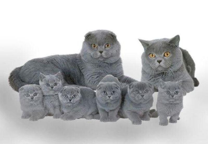 размножение шотландских кошек