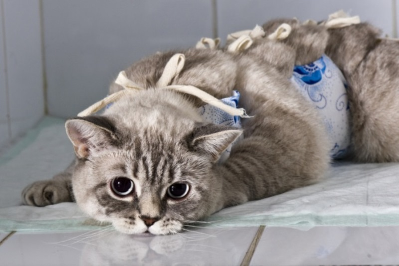 Мастит у кошки_повязка