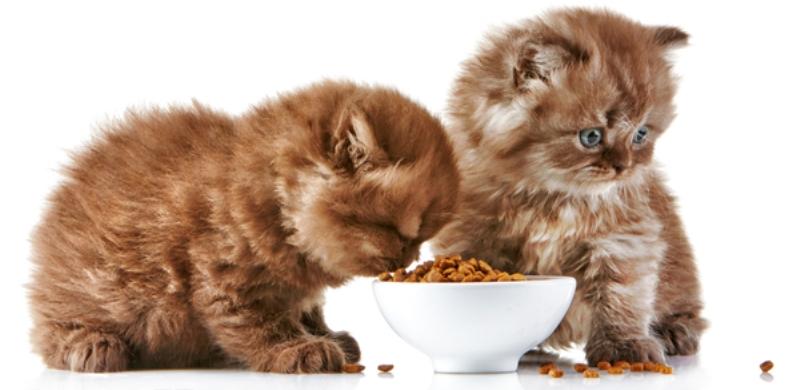 холистик корм для котят