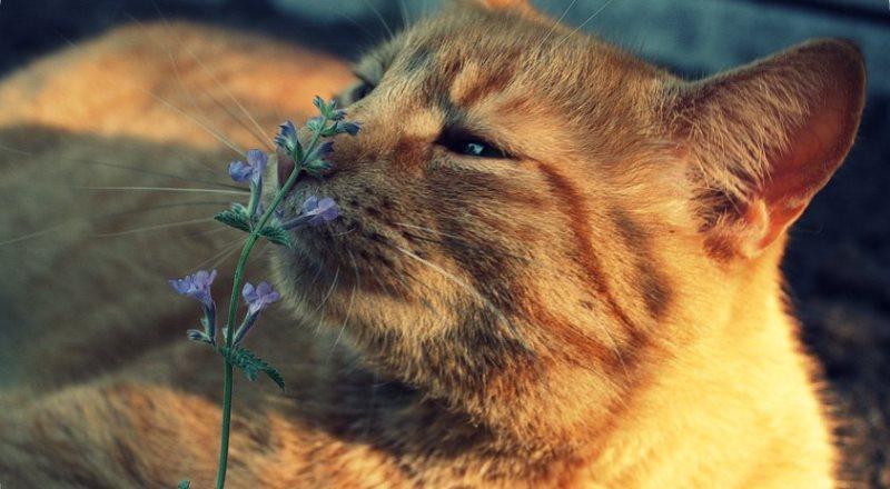 как действует котовник на кошек