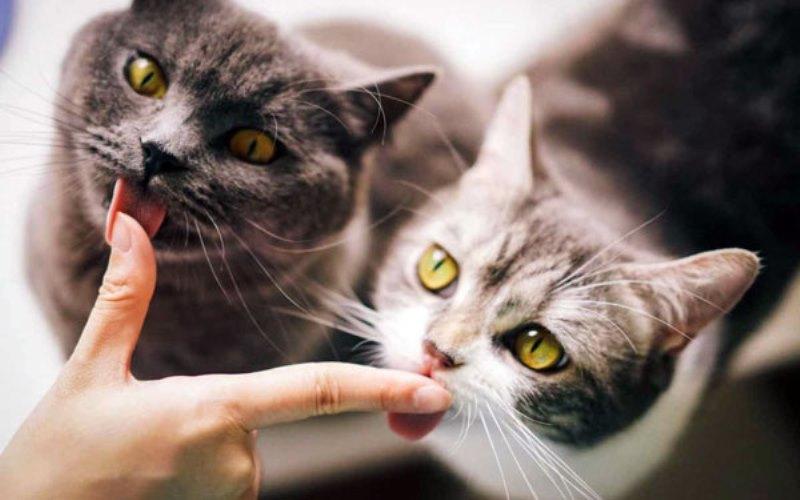 валерьянка при вязке кошек