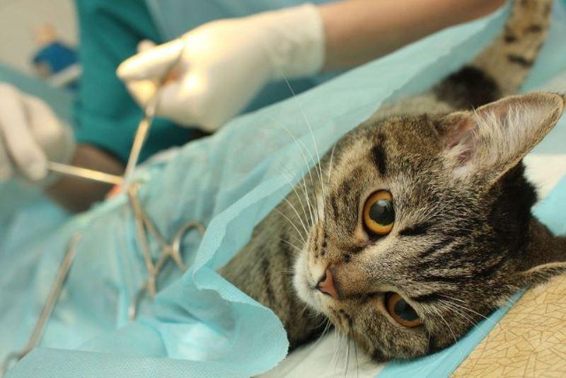 Лечение мкб у котов