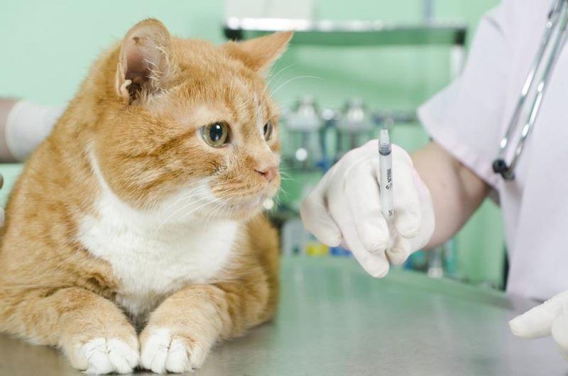 вакцинация от бешенства у кошек