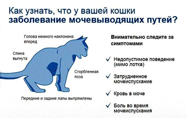 Мочекаменная болезнь у котов_признаки и симптомы