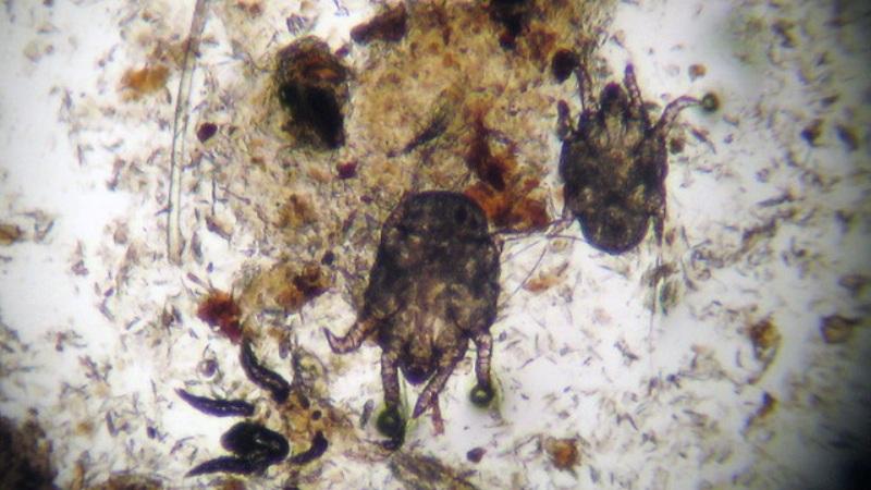 ушной клещ у кошки под микроскором
