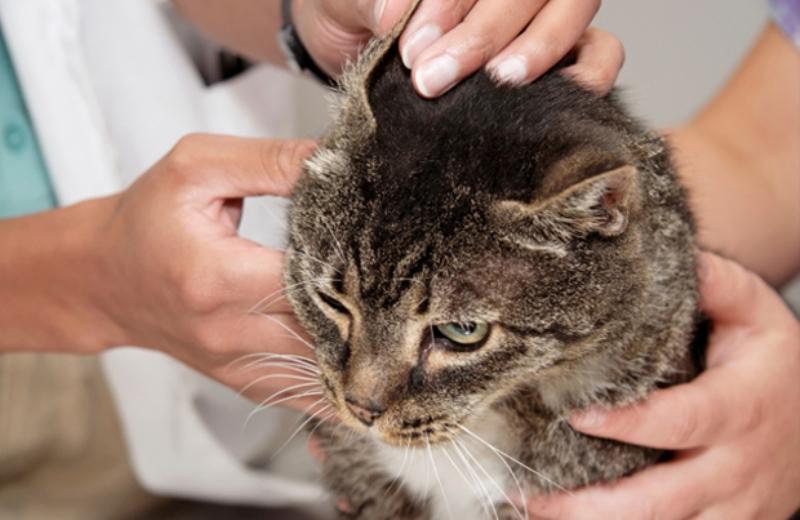 ушной клещ у кошки_лечение