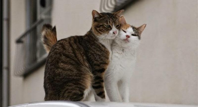 как передается Коронавирус у кошек
