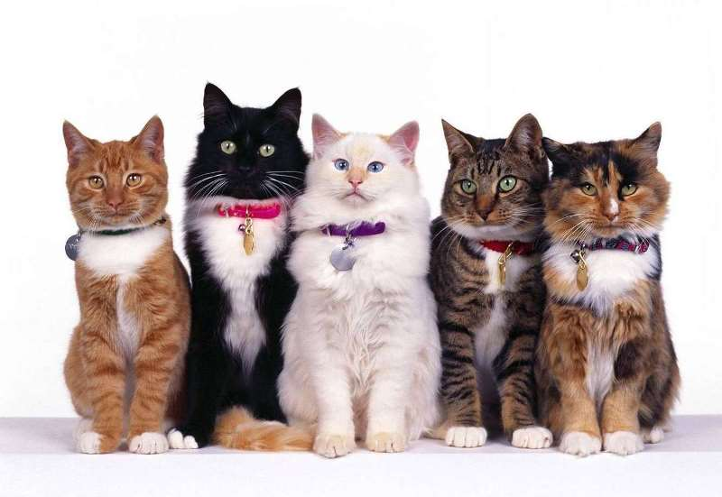 Ошейник от блох для кошек сколько носить
